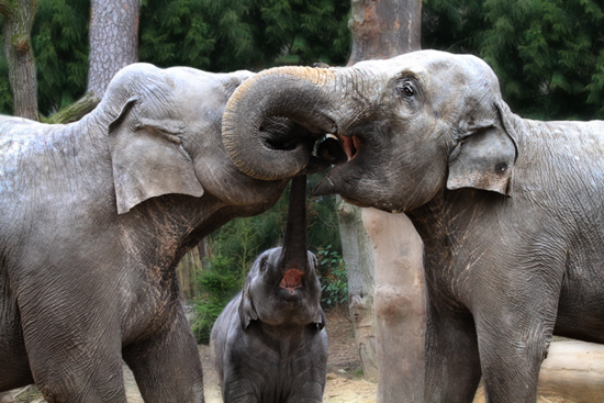 Elephant teeth-cleaning time tends to be a family affair