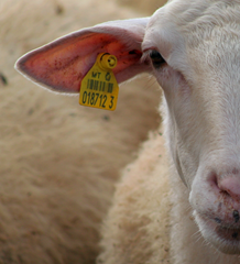 A sheep tagged with an RFID tag in its ear