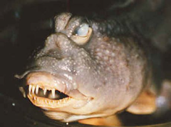 A very ugly fish
