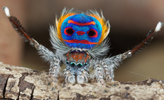 A peacock spider - yikes!