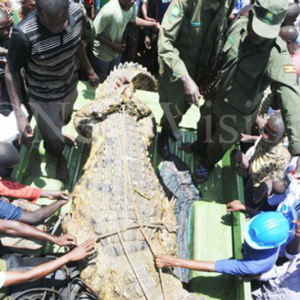 Many villagers want to just touch the croc