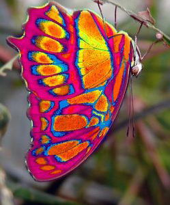 Eastwestfalian Fire Clipper Butterfly are found only in Eastwestfalia, Germany