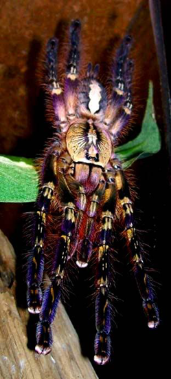The Fringed Ornamental tarantula can grow up to 10 inches long!
