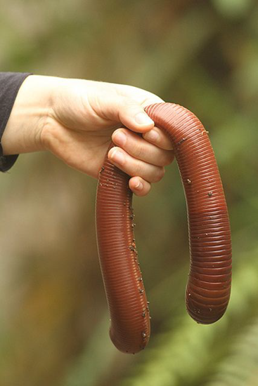 The Giant Earthworm can grow over 3 feet long and yes, they live under the dirt!