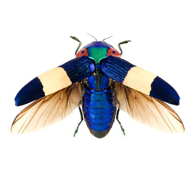 Jewel Beetle is one of the largest beetles on earth and are highly prized by insect collectors (don't ask what those same collectors do with them once they catch them).