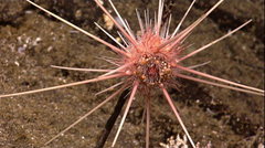 Carnivorous sponge, staring at the camera - waiting to pounce on the photographer!