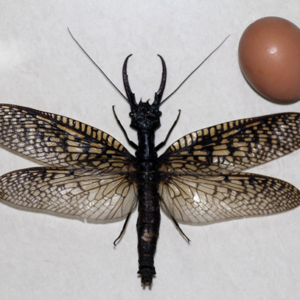 Giant insect discovered in China compared to the size of an egg (an Ostrich egg maybe?)