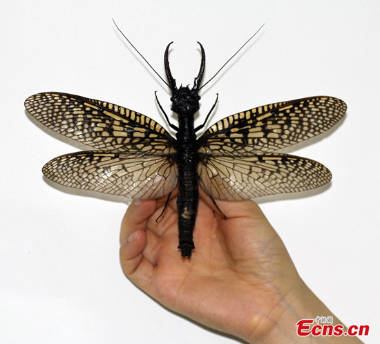 Giant friggin insect discoverd in China is world's largest acquatic bug