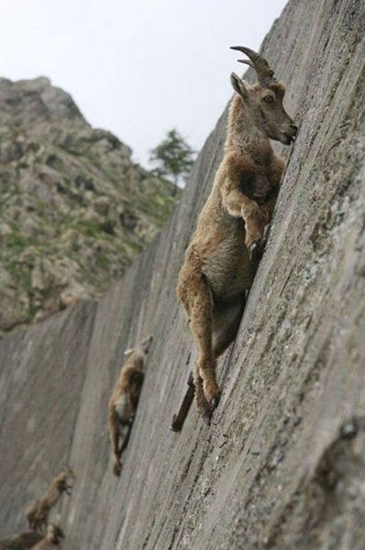 Death-defying climbing ibexes (goats)