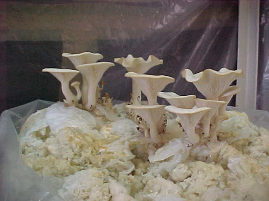 Oyster mushrooms growing in dirty diaper mixture