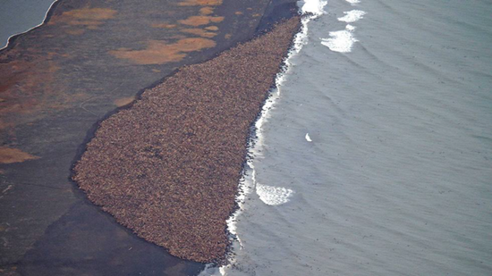 These aren't ants - they pacific walrus who could find no ice shelf to rest on