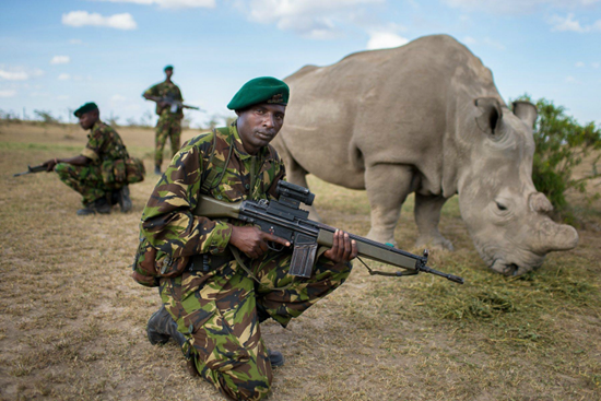Armed four-man team guard Northern White Rhino