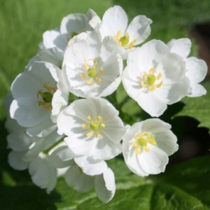 The Diphylleia grayi or Skeleton Flower, grows in the moist, wooded areas of Japan and China