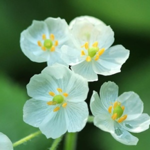 It's large, fizzy green, umbrella-shaped leaves are topped with small clusters of beautiful pearly white flowers