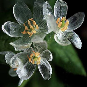 The crystal clear flowers of the Diphylleia grayi or Skeleton Flower plant