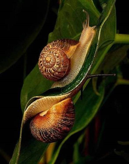 Mirror image of snails on a leaf
