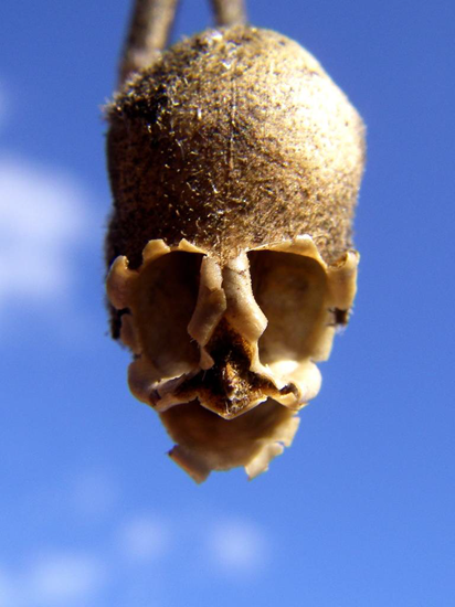 Closeup of a snapdragon flower seed pod