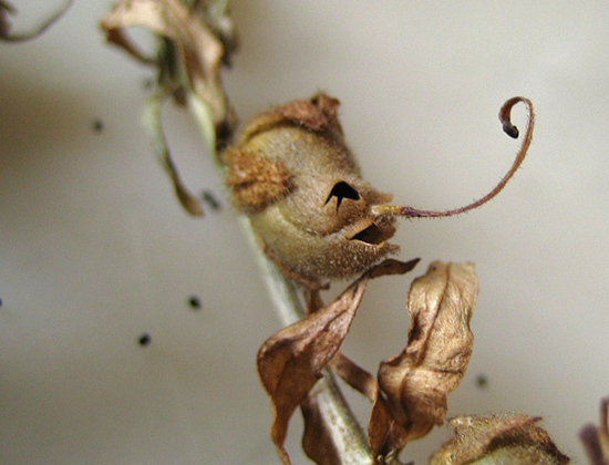 In some instances, the snapdragon seed pod can even look like a funny human face