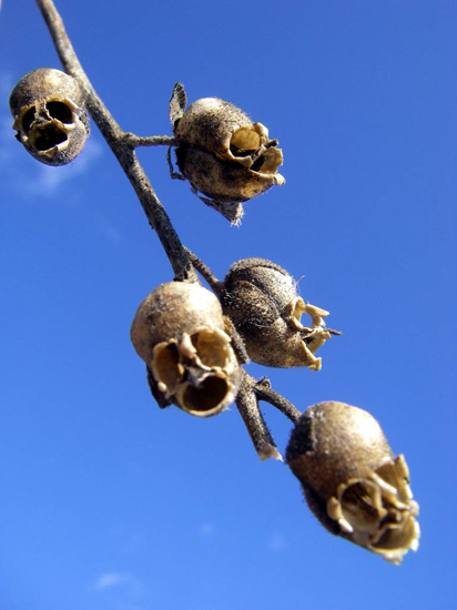 The amazing Snapdragon Flower Seed Pod looks like a human skull