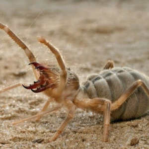 An angry Camel Spider