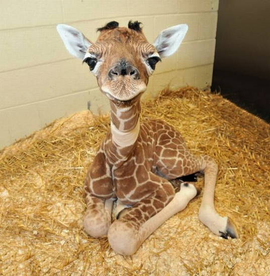 Baby giraffe that just woke up