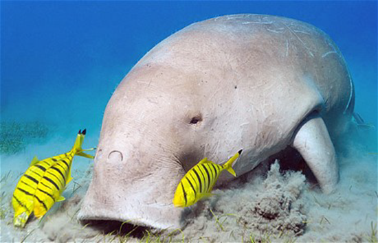 The Dugong or sea pig