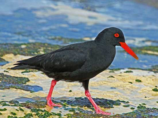 Canarian Oystercatcher