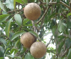 Large, olive-like see of the argan tree
