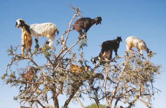 Goats in trees in southwestern Morocco