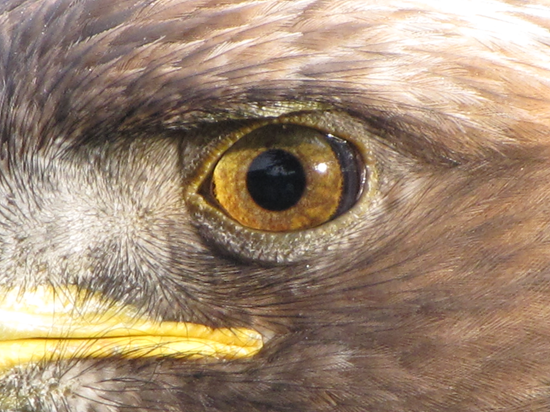 Closeup of eagle eye