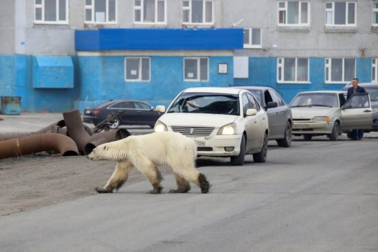 Starving polar bear photographed in Norilsk Russia 2019