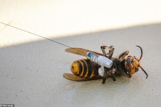 Asian Giant Hornet (murder hornets) with a radio transmitter attached