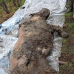 Ancient woolly rhino discovered in Arctic Yakutia
