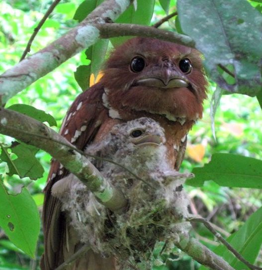 Large Frogmouth bird and its baby