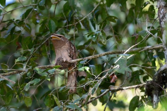 Large Frogmouth bird camouflaged