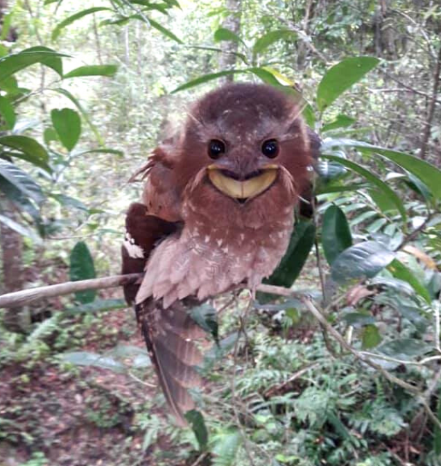 Large Frogmouth bird funny