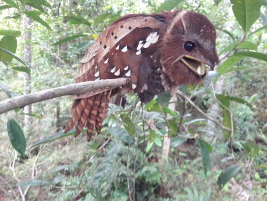 Large Frogmouth bird laughing?